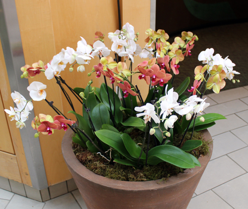 Orchid from Orchid Mania at Cleveland Botanical Gardens 2020