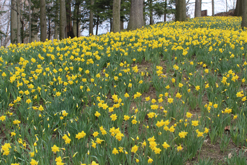Daffodil Hill at Lake View Cemetery in Cleveland