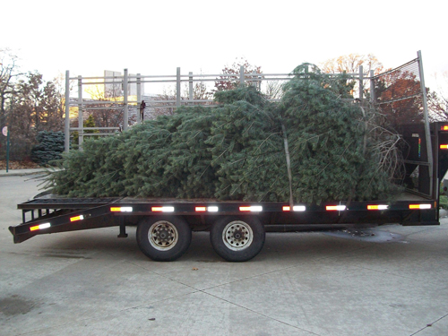 24' concolor fir tree