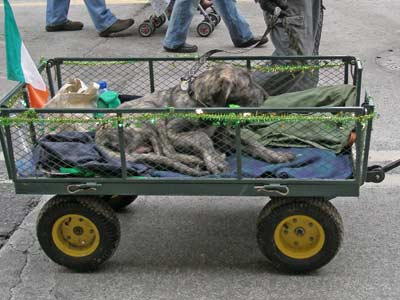 Irish Wolfhound puppy in the St Patrick's Day parade