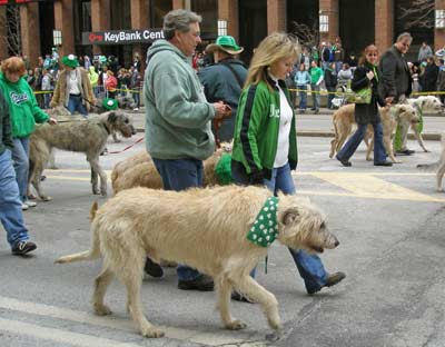 Irish Wolfhounds marching in the St Patrick's Day parade