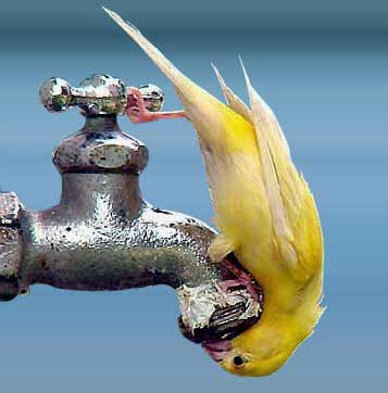 bird drinking from faucet