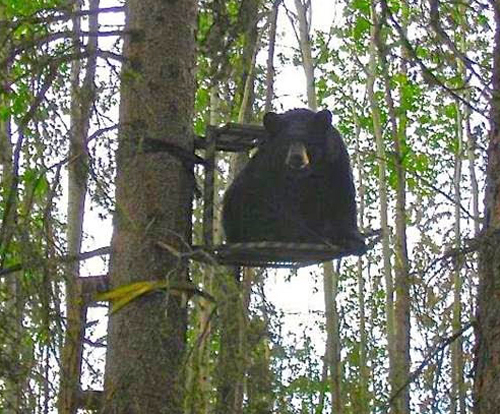 Bear in a deer stand