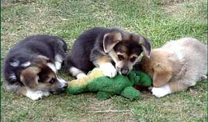 dogs eating toy