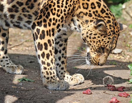 Leopard with mouse