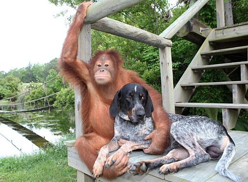 Orangutan monkey is best friends with a dog - great picture