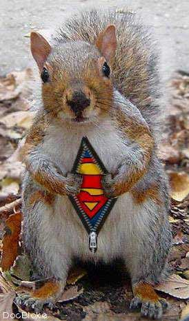 Squirrel with superman suit
