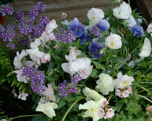 Pansies,Diascia and Nemesia photo by Melinda Myers