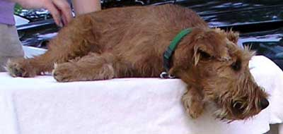 Irish Terrier wheaten