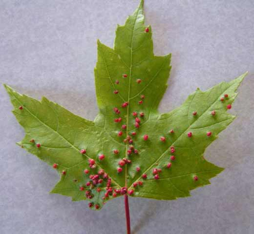 Maple Leaf with red bumps on it