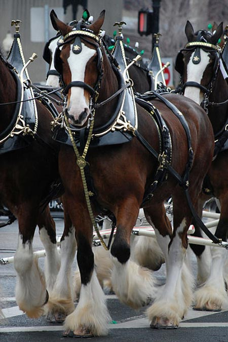 Budweiser Clydesdale horse at parade