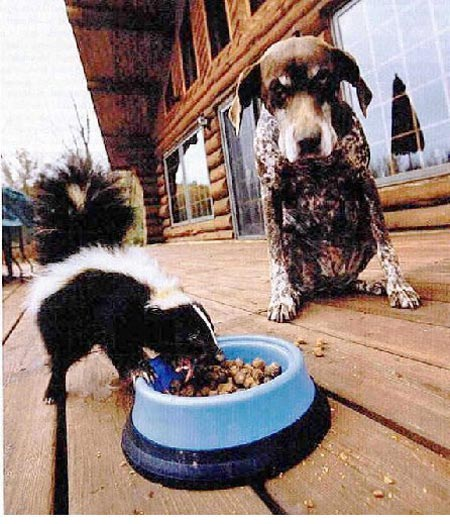 Skunk eating dog's dog food