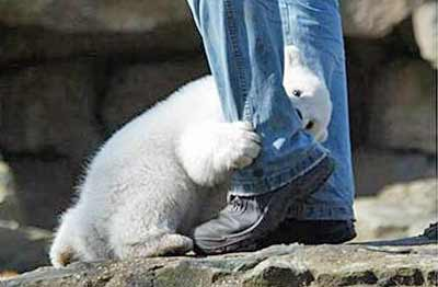 baby polar bear attacks a man's leg