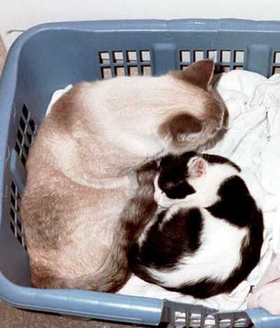 Cat In Laundry Basket. cats in laundry basket
