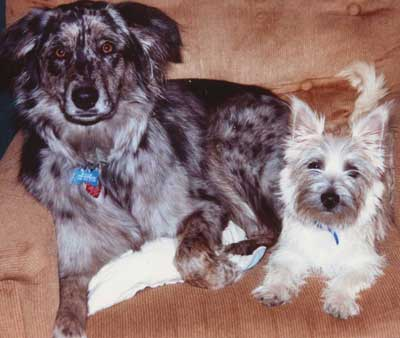 Australian Shepherd Maggie and Cairn Terrier Ceili