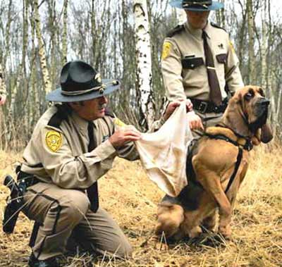 SEarch dog smelling soiled underwear