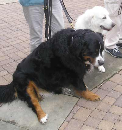 Mountain Bernese Blaze and Greta Pyrenees Zima listen to the blessing