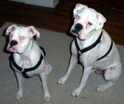 boxers for sale norther il
