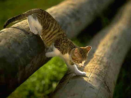 cat jumping log