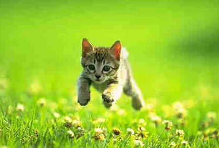 Kitten cat running through field