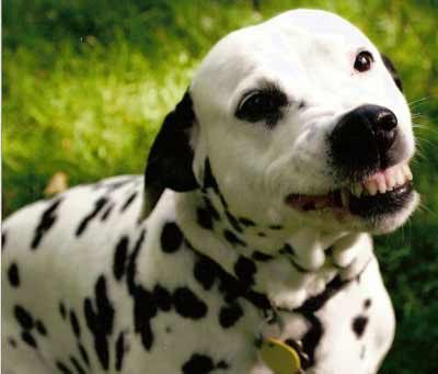 Cassie with a classic Dalmatian smile
