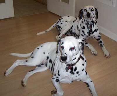 Dalmatians Kinsey and Cleo