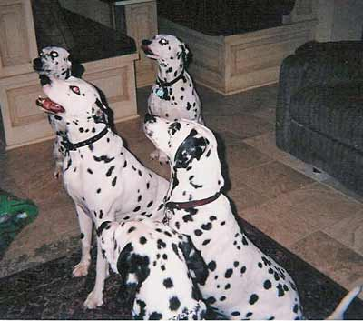 Not quite 101 Dalmatians - waiting for a treat - french fries!