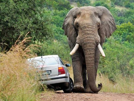 Elephant and car on road