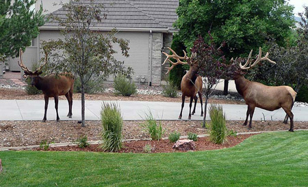 Gang of moose in neighborhood