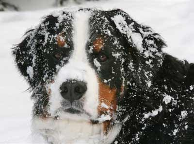 Bernese Mountain Dog Hub in the snow
