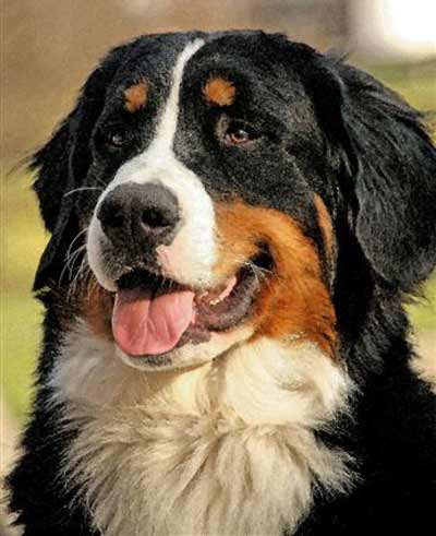 Bermese Mountain Dog |  Pet Gates