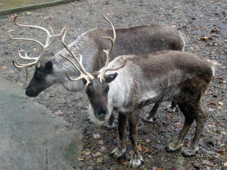 Cleveland Metroparks Zoo reindeer