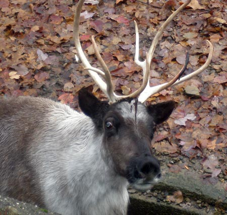 Reindeer at Cleveland Metroparks Zoo