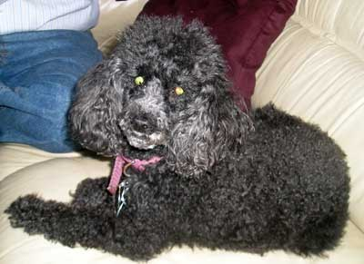Rabbi Fred and Helen  Eisenberg's Toy Poodle Dolly